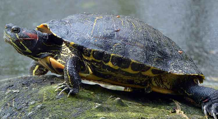 Red Eared Slider Growth Rate How Fast Do Red Eared Sliders Grow