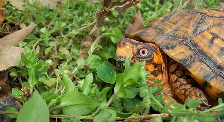 Can Box Turtles eat celery