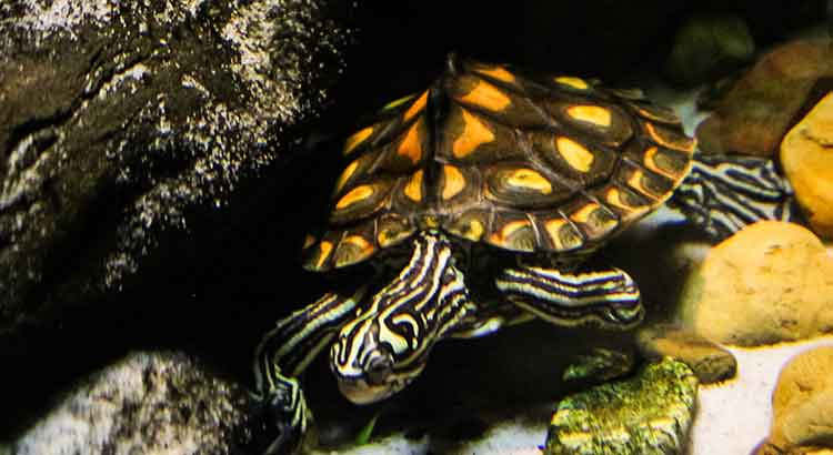 Do Turtles Change Colors ? ( with Pictures ) | Turtle Owner