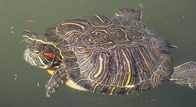 How Long Do Red Eared Slider Turtles Live Turtle Owner